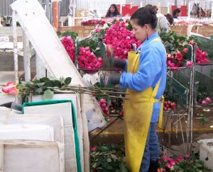 valentines roses wholeblossoms 300x243 This Week At WholeBlossoms...