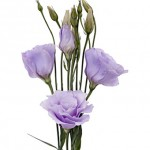 Lavender Lisianthus Flower1 150x150 Wholesale Flowers All Year Round