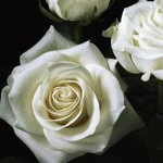 Polar Star White Roses
