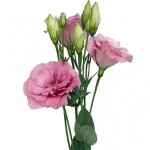 Rose Lisianthus 150x150 Wholesale Flowers All Year Round