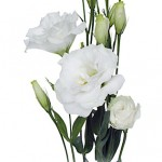 White Lisianthus flower 150x150 Wholesale Flowers All Year Round