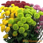 button pom chrysanthemum flowers 150x150 Wholesale Flowers All Year Round