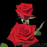 charlotte wholesale roses 150x150 Flowers For A Valentine Wedding