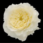 david austin patience rose 150x150 Wholesale Flowers All Year Round