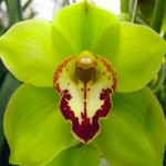 Green Cymbidium Red Lip Orchid