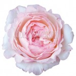 keira david austin garden rose flower 150x150 Wholesale Flowers All Year Round