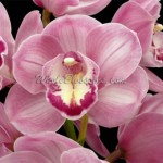 Pink Mini Cymbidium Orchid