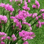 pink statice 150x150 Wholesale Flowers All Year Round
