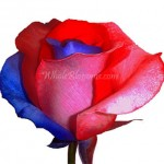 red blue rose 150x150 Be My Valentine Flower