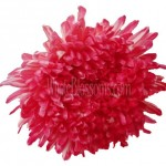 red dark pink football mum 150x150 Wholesale Flowers All Year Round