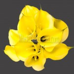 yellow serrada calla lilies wedding flowers 150x150 WHOLESALE CALLA LILIES