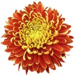 Football Mums Bronze Flower 150x150 WHOLESALE FLOWERS AND COLORS