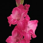 Hot Pink Gladiolus Flower