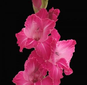Hot Pink Gladiolus Flower 300x291 Hot Pink Gladiolus Flower
