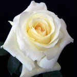 anastasia rose white 150x150 WHOLESALE FLOWERS AND COLORS