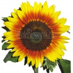 bicolor orange yellow sunflower 150x150 Using Sunflowers For Wedding Decorations