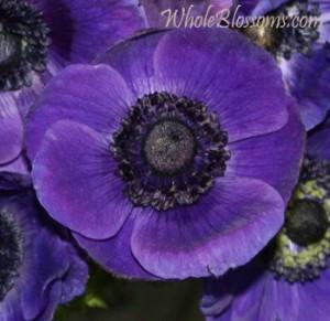 blue anemone flower 300x291 blue anemone flower