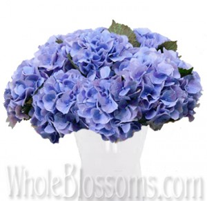 blue hydrangea dutch 300x291 blue hydrangea dutch