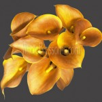 calla lilies orange papaya flowers 150x150 WHOLESALE FLOWERS AND COLORS