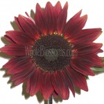 chocolate sunflower 150x150 Using Sunflowers For Wedding Decorations