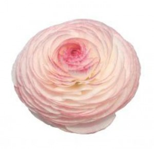cream peach ranunculus flower 300x291 cream peach ranunculus flower