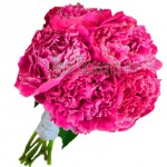 hot pink peony flower 150x150 CARING FOR YOUR PEONIES