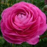 hot pink ranunculus 150x150 Enjoy Your Wholesale Ranunculus