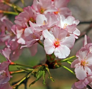pink cherry blossoms 300x291 Wholesale Cherry Blossoms
