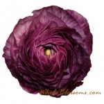 Purple Ranunculus Flowers