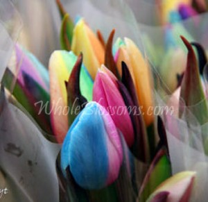 rainbow tulips 300x291 rainbow tulips