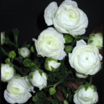 ranunculus white 150x150 Enjoy Your Wholesale Ranunculus