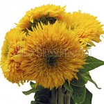 teddy bear sunflower 150x150 Using Sunflowers For Wedding Decorations