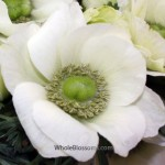 White Anemone Flowers Light Center