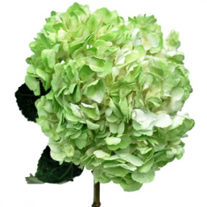 H 2 300x300 My Top 7 List of Hydrangeas for any Wedding