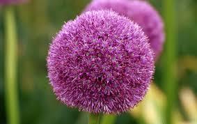 Allium - 1
