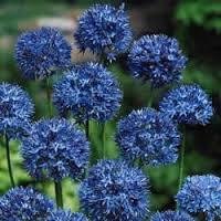 Allium - 2