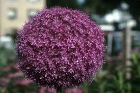 Allium - 3