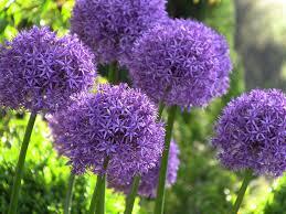 Allium - 4