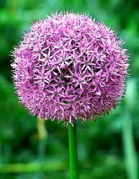 Allium - Title