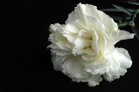Carnations - 2