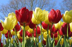 Tulips - 2