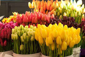 Tulips - 3