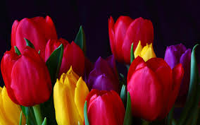 Tulips - 4