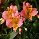 Alstroemeria 150x150 Choosing the Right Flower during the fall