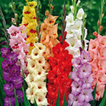 Gladilolus Title 150x150 What Do You Know About Gladiolus?