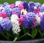 Hyacinth 2 150x146 What Do You Know About Hyacinths?