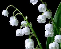 Lily of the Valley - 1
