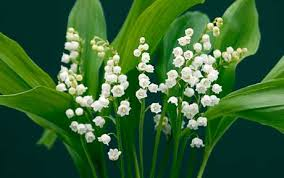 Lily of the Valley - Title