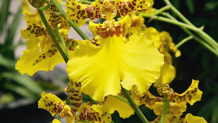 Orchid Oncidium What Do You Know About Orchids?