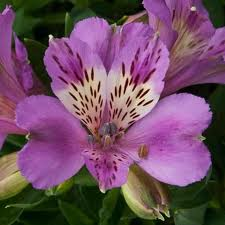 Als 1 What Do You Know About Alstroemeria?